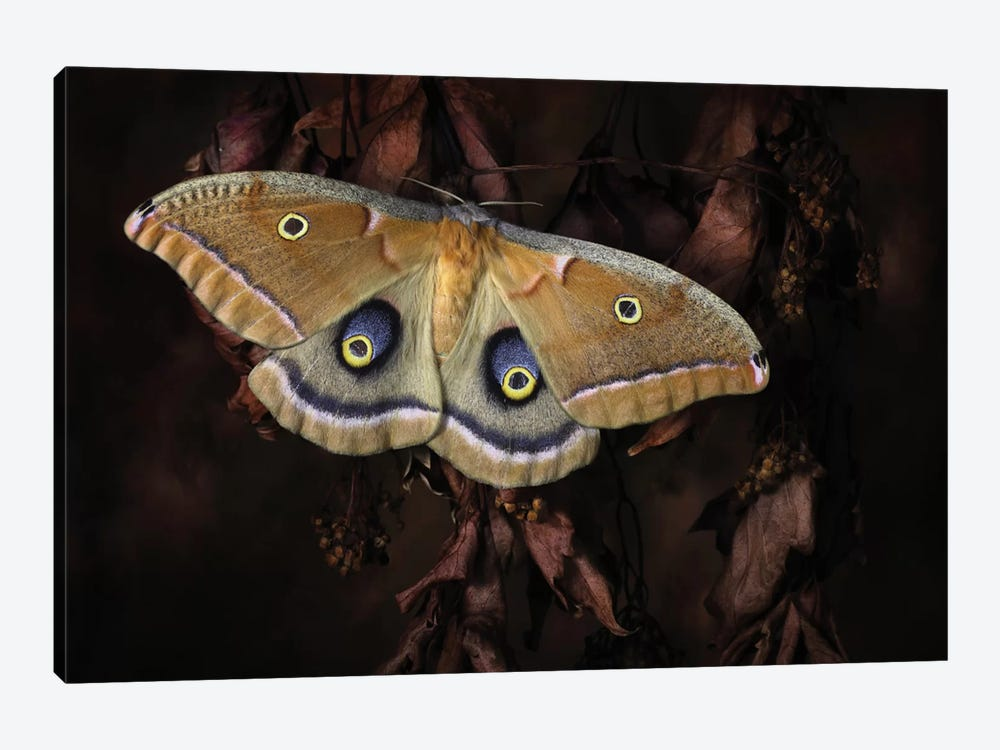 Polyphemus by Jimmy Hoffman 1-piece Art Print