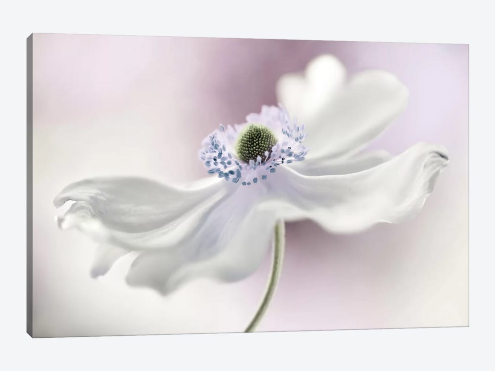 Anemone Breeze by Mandy Disher 1-piece Canvas Art