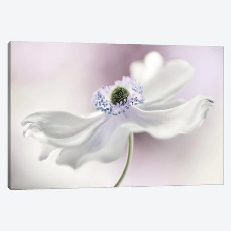 Anemone Breeze Canvas Print #OXM1722} by Mandy Disher Art Print