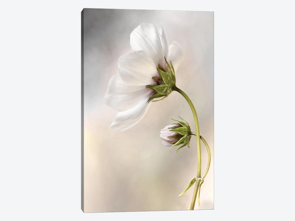 Cosmos by Mandy Disher 1-piece Canvas Print