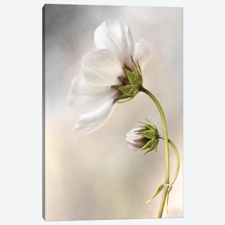 Cosmos III Canvas Print #OXM1723} by Mandy Disher Art Print