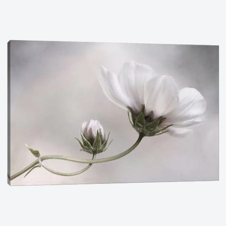 Cosmos IV Canvas Print #OXM1724} by Mandy Disher Canvas Wall Art