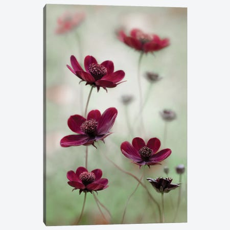 Cosmos Sway Canvas Print #OXM1725} by Mandy Disher Canvas Wall Art