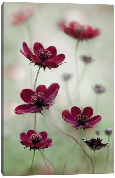 Cosmos Sway Canvas Art Print