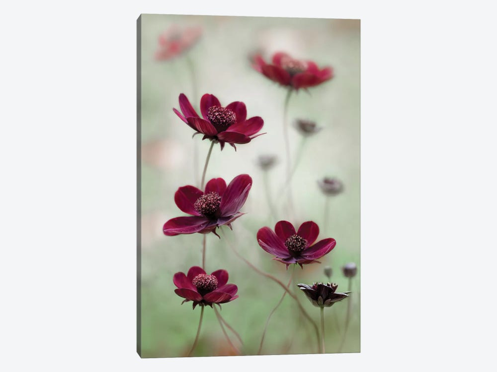 Cosmos Sway by Mandy Disher 1-piece Canvas Print