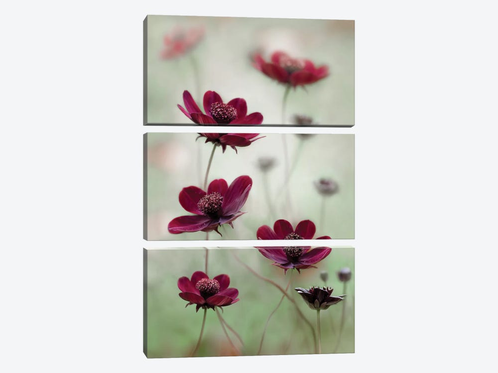 Cosmos Sway by Mandy Disher 3-piece Canvas Print