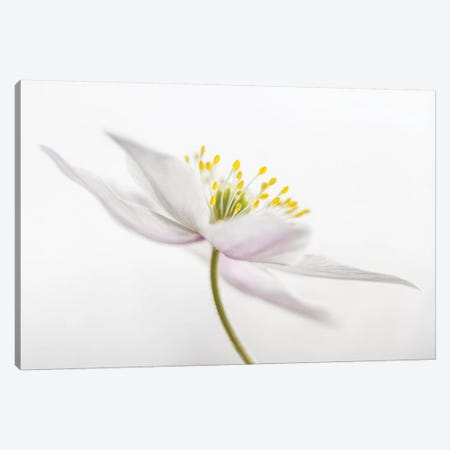 Nemorosa II Canvas Print #OXM1727} by Mandy Disher Canvas Wall Art