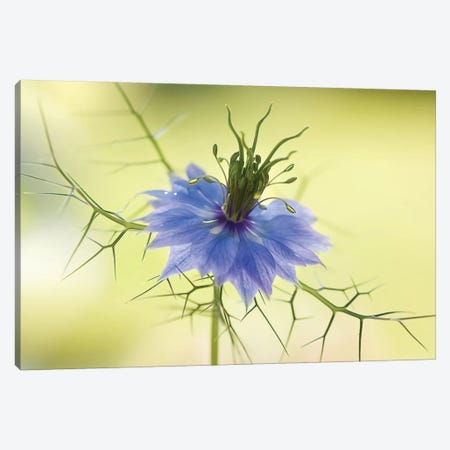 Nigella Canvas Print #OXM1728} by Mandy Disher Art Print