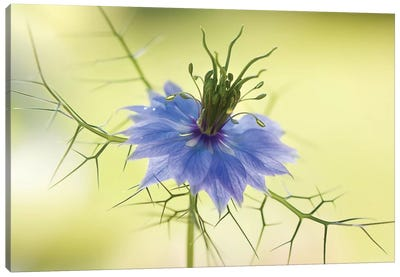Nigella Canvas Art Print