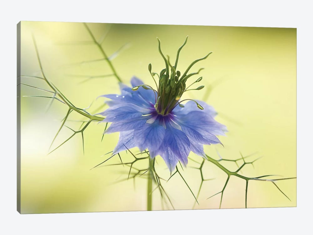 Nigella by Mandy Disher 1-piece Canvas Artwork
