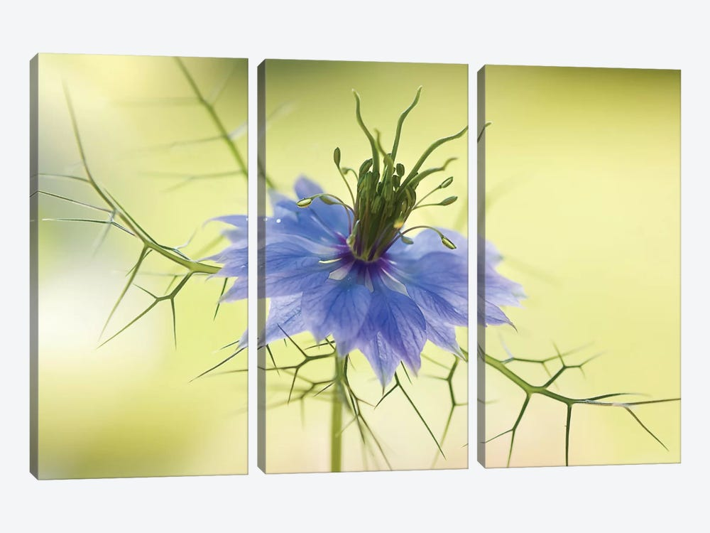 Nigella by Mandy Disher 3-piece Canvas Art