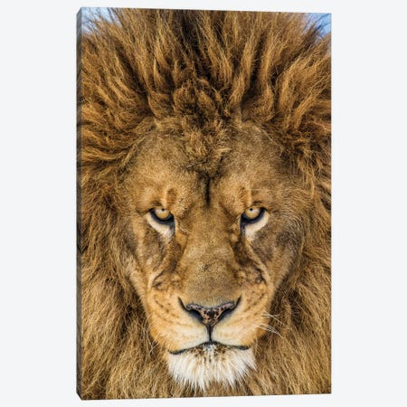 Serious Lion Canvas Print #OXM1814} by Mike Centioli Canvas Artwork