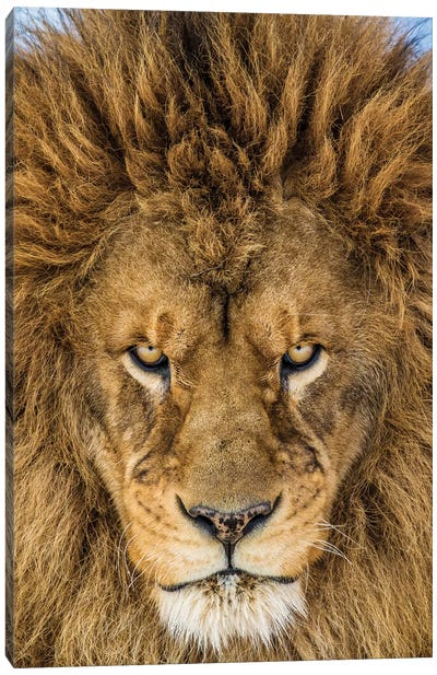 Serious Lion Canvas Art Print