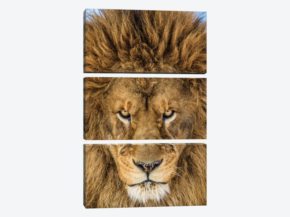 Serious Lion by Mike Centioli 3-piece Art Print