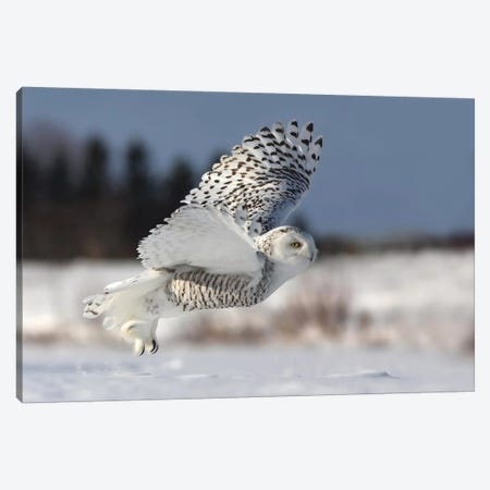 Bubo Scandiacus Canvas Print #OXM1834} by Mircea Costina Canvas Artwork