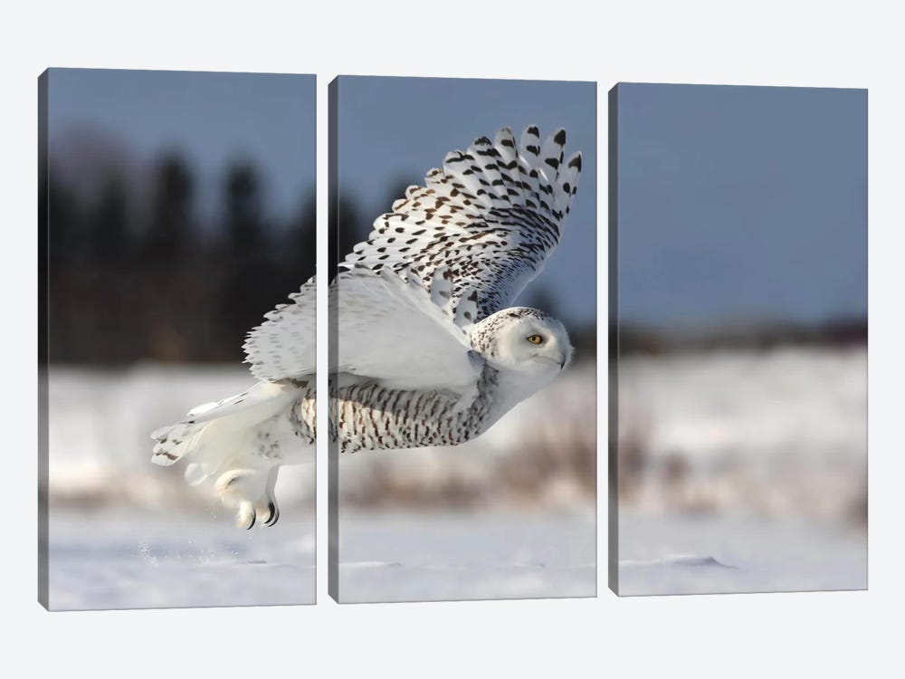 Bubo Scandiacus by Mircea Costina 3-piece Canvas Print