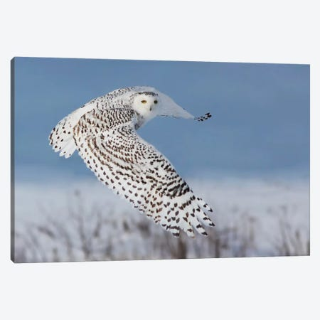 Snowy Owl Canvas Print #OXM1836} by Mircea Costina Canvas Wall Art