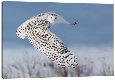 Snowy Owl Canvas Art Print