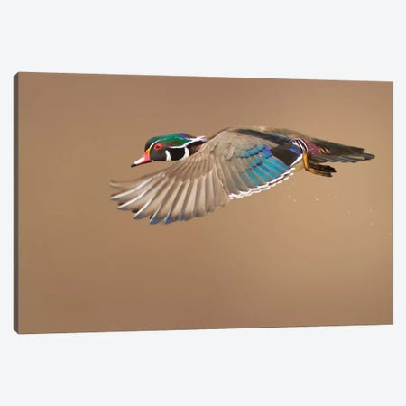 Wood Duck Canvas Print #OXM1840} by Mircea Costina Canvas Art