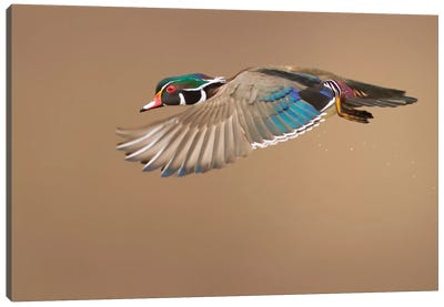 Wood Duck Canvas Art Print