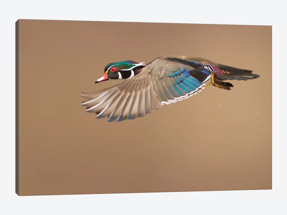 Wood Duck by Mircea Costina 1-piece Canvas Art