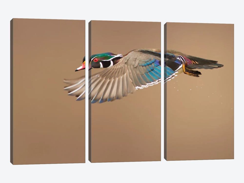 Wood Duck by Mircea Costina 3-piece Canvas Artwork