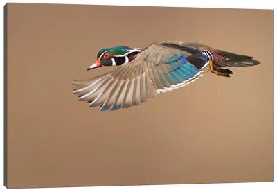 Wood Duck Canvas Art Print