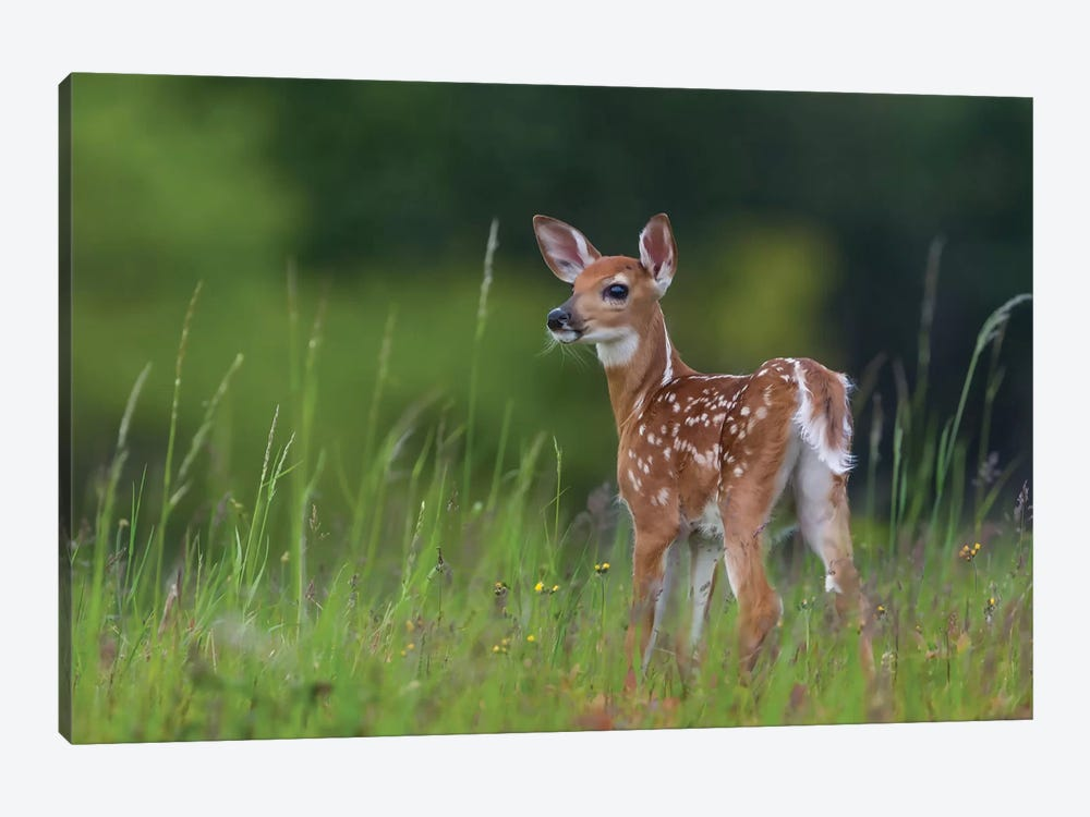 Spring Fawn by Nick Kalathas 1-piece Canvas Print