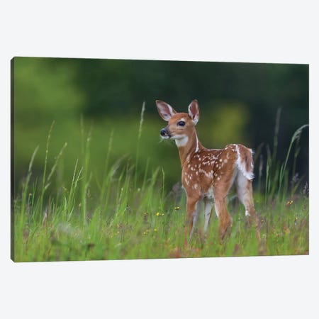 Spring Fawn Canvas Print #OXM1878} by Nick Kalathas Canvas Art Print