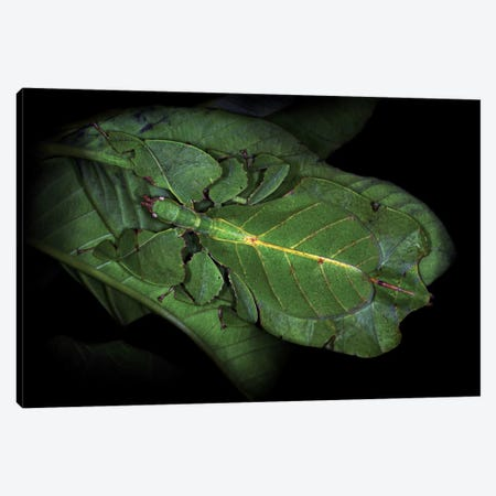 Walking Leaf Canvas Print #OXM188} by Jimmy Hoffman Art Print