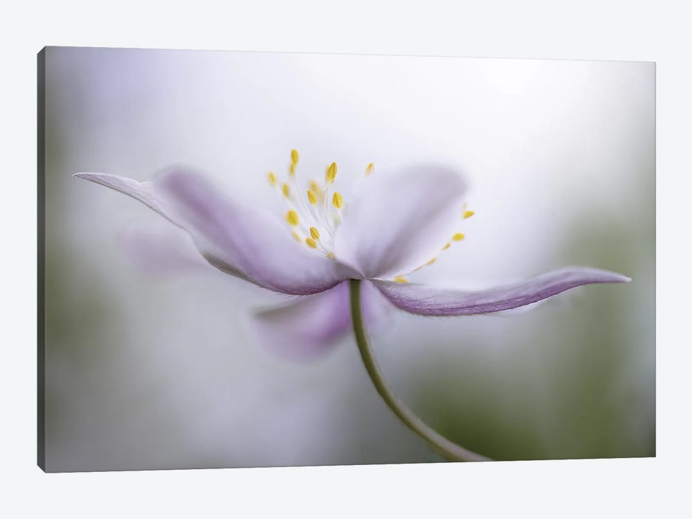 Nemorosa I by Mandy Disher 1-piece Canvas Print