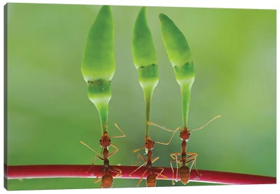 Chili Cilider Team Canvas Art Print