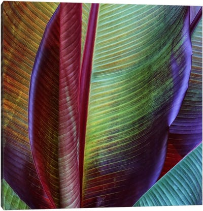 Banana Skin Canvas Print #OXM2452