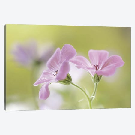 Pink Melody Canvas Print #OXM254} by Mandy Disher Canvas Artwork