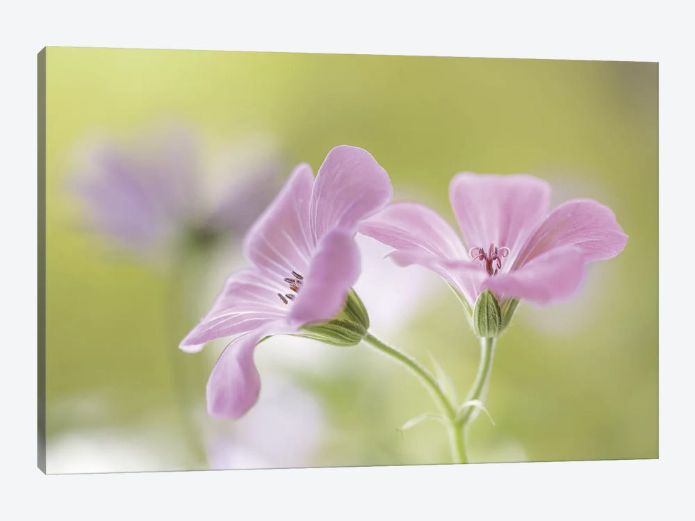 Pink Melody by Mandy Disher 1-piece Canvas Print