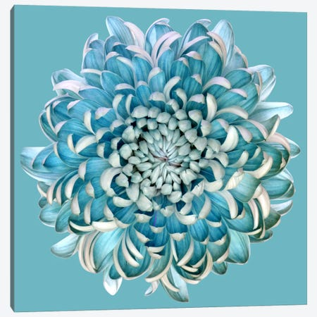 Blue Chrysanth Canvas Print #OXM2706} by Brian Haslam Canvas Art