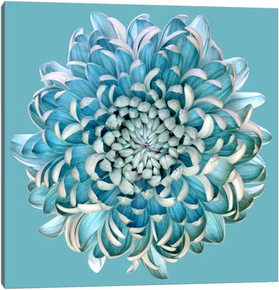 Blue Chrysanth Canvas Art Print