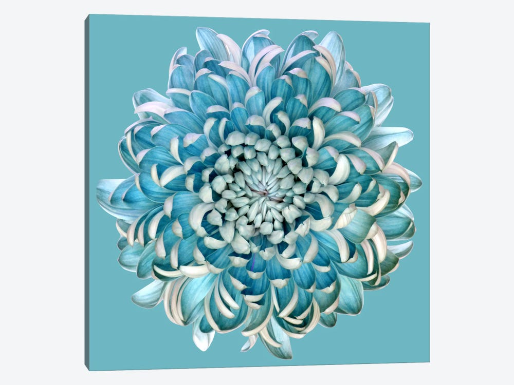 Blue Chrysanth 1-piece Canvas Wall Art