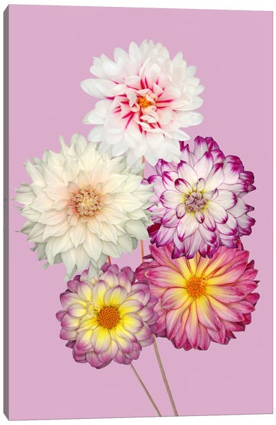 Dahlias Canvas Art Print