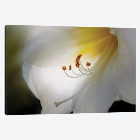 Amaryllis Canvas Print #OXM2731} by Franz Schumacher Canvas Artwork