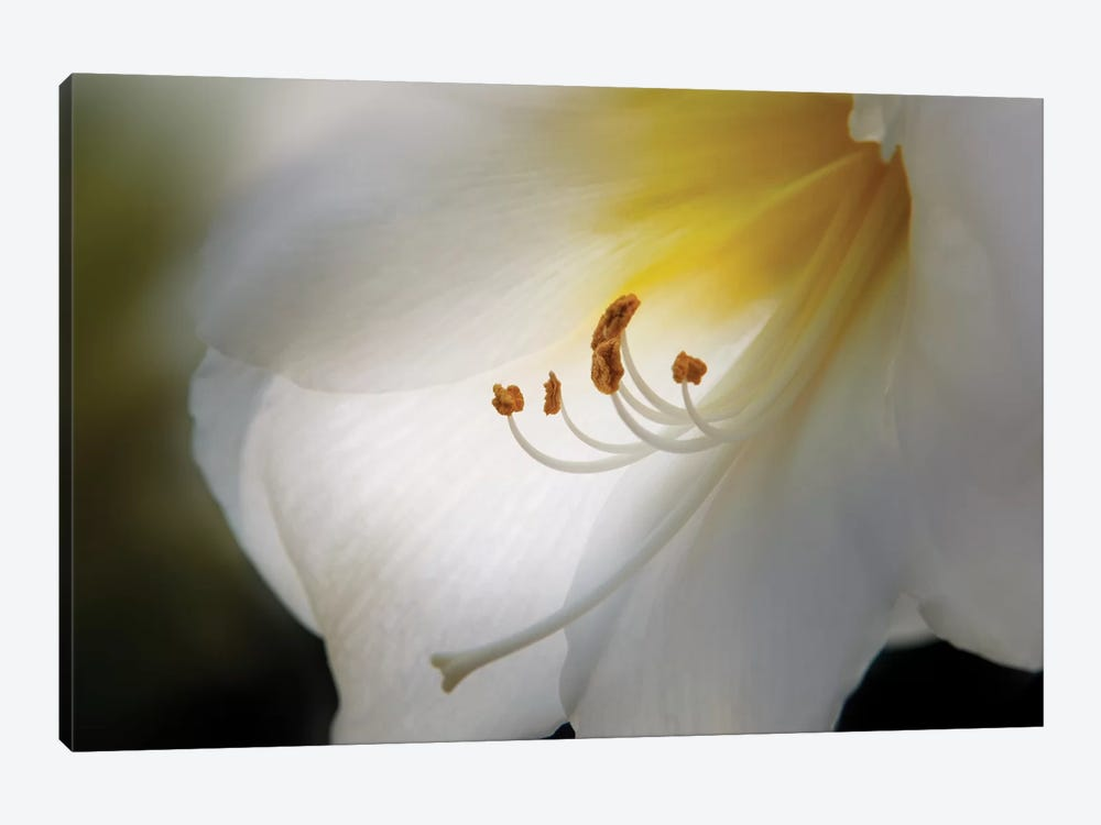 Amaryllis by Franz Schumacher 1-piece Canvas Artwork