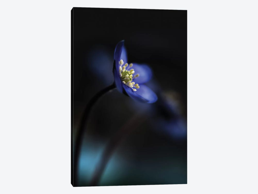Hepatica Nobilis 1-piece Canvas Print