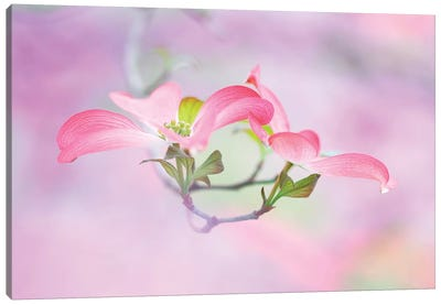 Dogwood Canvas Art Print