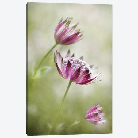 Astrantia Canvas Print #OXM2778} by Mandy Disher Canvas Wall Art