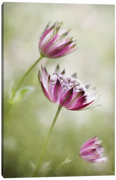 Astrantia Canvas Art Print