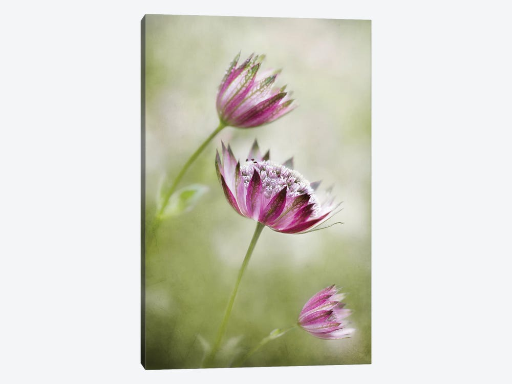 Astrantia by Mandy Disher 1-piece Canvas Print