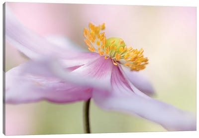Japanese Anemone Canvas Art Print