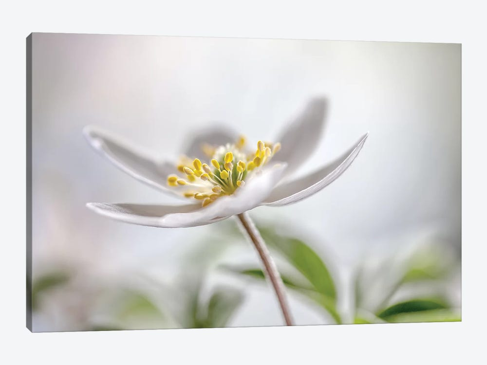 Wood Anemone 1-piece Canvas Art