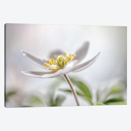 Wood Anemone Canvas Print #OXM2782} by Mandy Disher Canvas Print