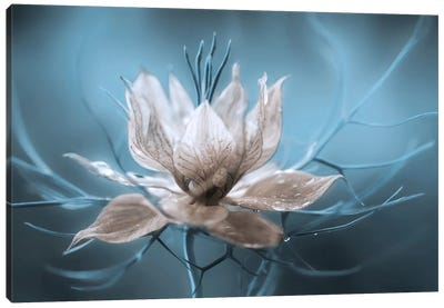 Nigella by Mandy Disher Canvas Art